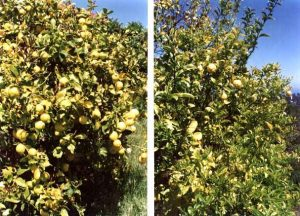 Magnetizer influence on fruit growth