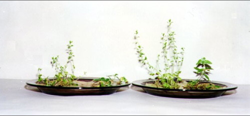A University test in Poland studying seed/plant growth upon Magnetizer™ treatment