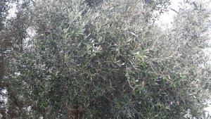 An olive tree saved with Magnetizer